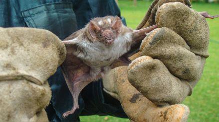 Cajamarca: Serfor pide parar el ataque de pobladores a murciélagos