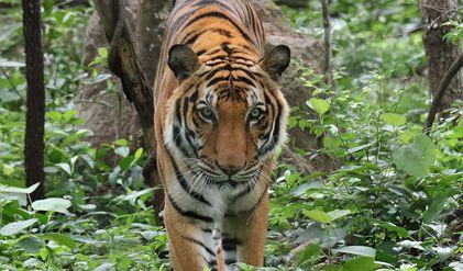 Lo que se conoce del primer caso de un tigre contagiado por COVID-19 en un zoológico de Nueva York