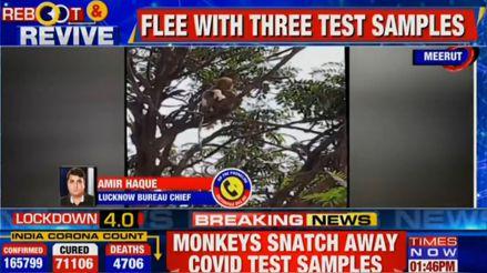 Un grupo de monos se robó muestras de sangre de pacientes con COVID-19 en India