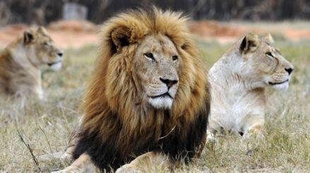 Dos leones atacaron a una cuidadora de un zoológico de Australia