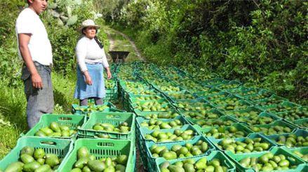 Gobierno Regional de Apurímac advierte que toneladas de papa, quinua y palta están a punto de perderse