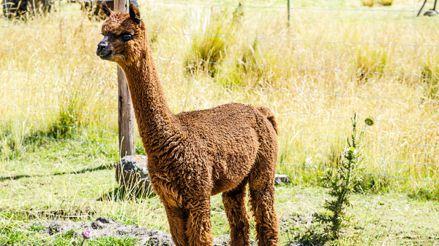 Coronavirus: Científicos comienzan a probar en alpacas una vacuna contra la COVID-19 diseñada en Perú