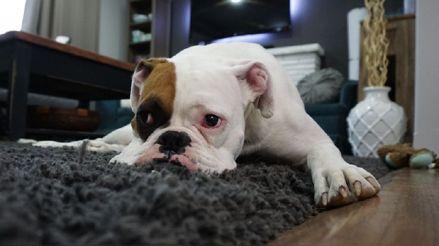 Mascotas después de la cuarentena: ¿Cómo les afecta volver a separarse de sus dueños?