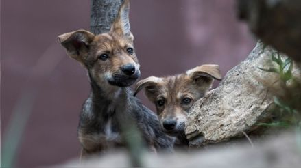 Ocho cachorros de lobo gris mexicano, especie en peligro de extinción, nacen en museo [FOTOS]