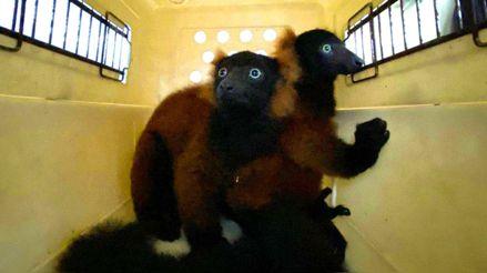 El nacimiento de dos raros lémures rojos da esperanza por la supervivencia de la especie [FOTOS]