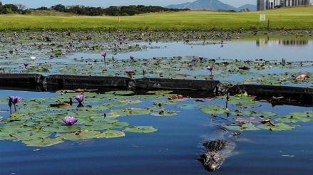 Brasil: Animales salvajes se adueñan de campos de golf durante pandemia de coronavirus [FOTOS]