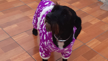 Estudio encontró que los perros pueden olfatear la presencia de la COVID-19 con gran precisión