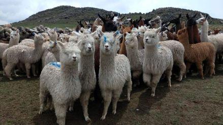 Hoy se celebra en el Perú el Día Nacional de la Alpaca