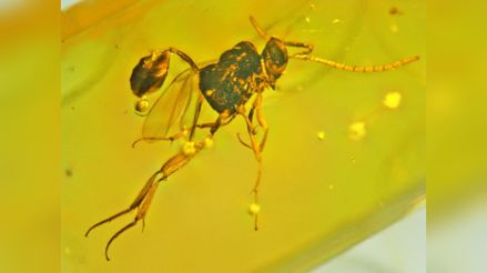 Hallan nuevas especies de avispas en ámbar de hace 25 millones de años