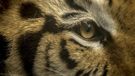 Capturan en EEUU a un tigre de Bengala que deambulaba por un barrio