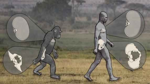 Los chimpancés caminan en bipedestación de manera similar a los humanos