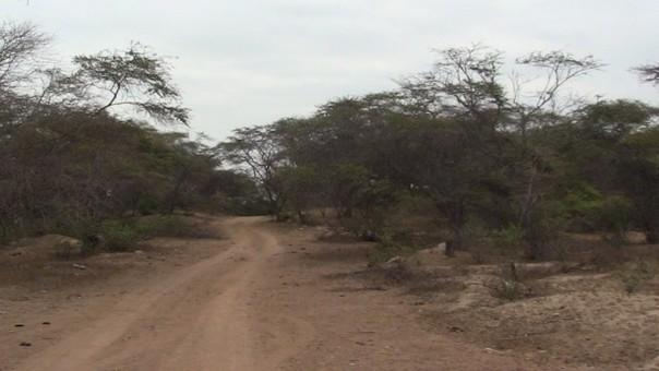 Siguen talando bosques secos de la región Lambayeque.