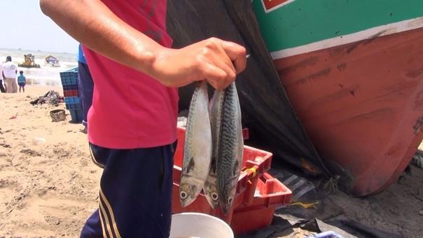 Pesca de especies en etapa juvenil denunciaron que se viene realizando en el litoral lambayecano