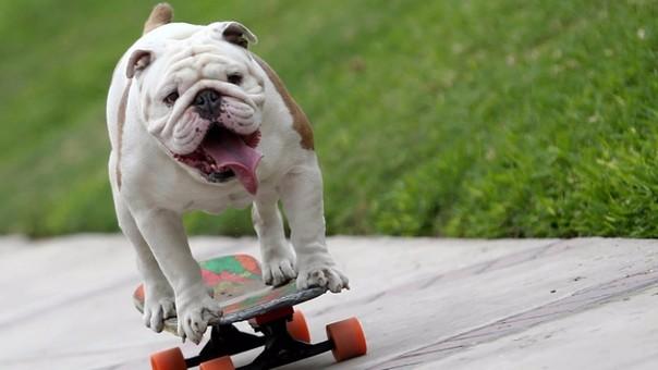 Otto, el bulldog peruano que logró récord Guinness, practica desde cachorro