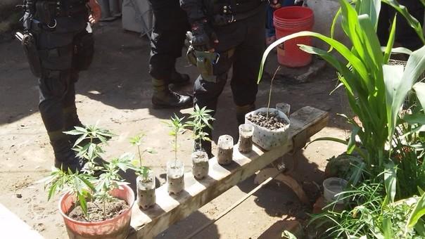 Plantones se encontraban en pequeños maceteros