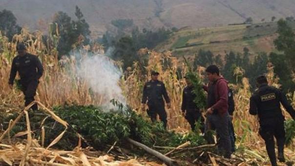 Incautan 115 plantones de marihuana en la región Ayacucho