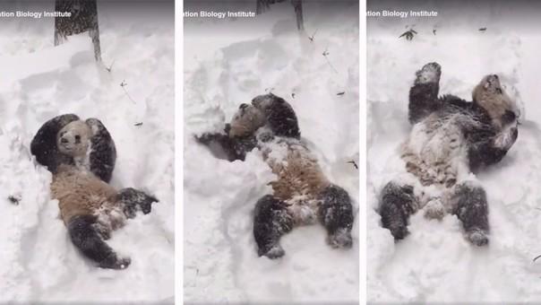 Osito se revuelca en la nieve
