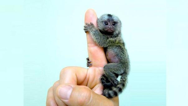 Este mono mide de 14 a 18 centímetros en edad adulta