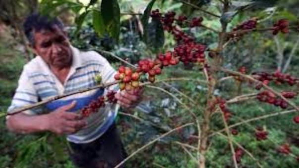 Plaga roya amarilla daño considerablemente cultivos de café.