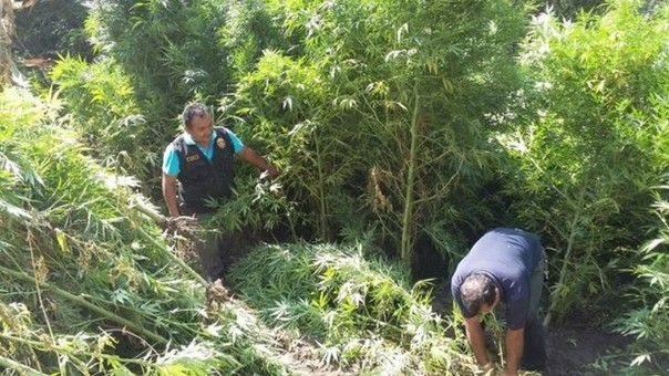 Hallan plantaciones de marihuana