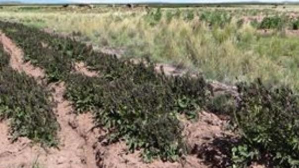 Heladas echaron a perder producción agrícola de este año.