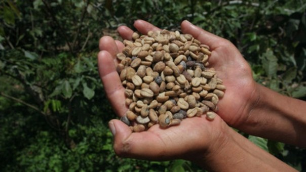 Buscan mejorar producción de café.