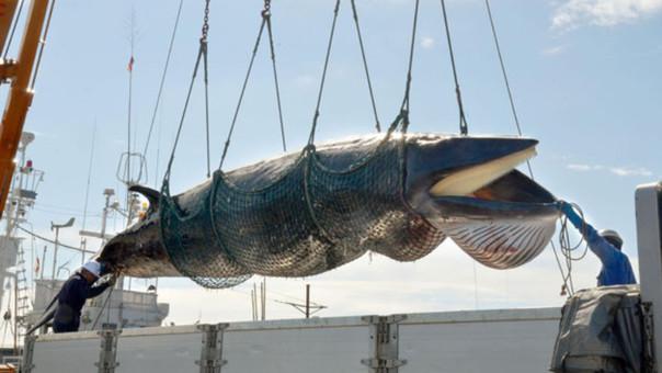 Japón continúa cazando ballenas