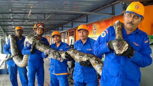 Serpiente de 250 kilos en Malasia