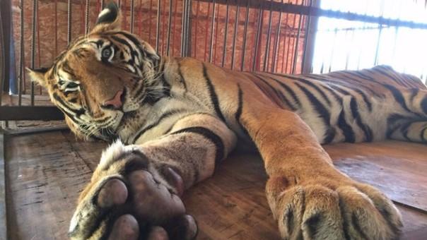 Hoover, el tigre rescatado de circo clandestino