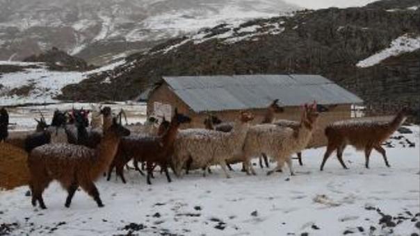 Alpacas, ovinos y vacunos se encuentran en serio riesgo por el friaje