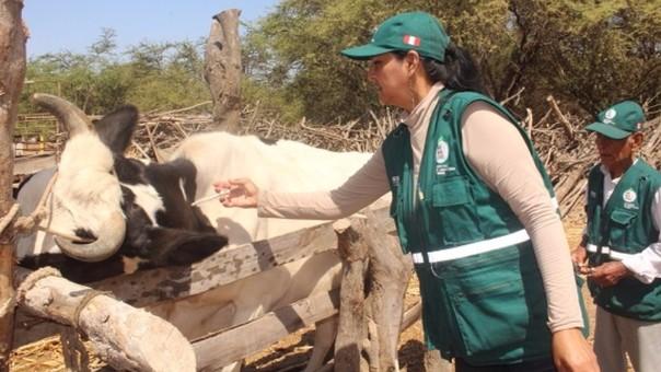 Profesionales de Senasa se encuentran vacunando al ganado en Chiclayo