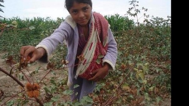 Apañando algodón nativo