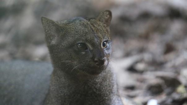 El curioso yaguarundí