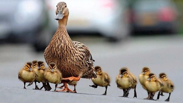los patitos recién nacidos son más listos que muchos animales rpp