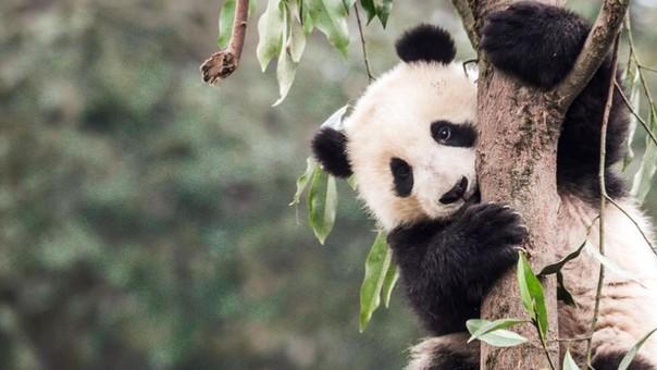 Panda en la Reserva Natural Nacional de Wanglang