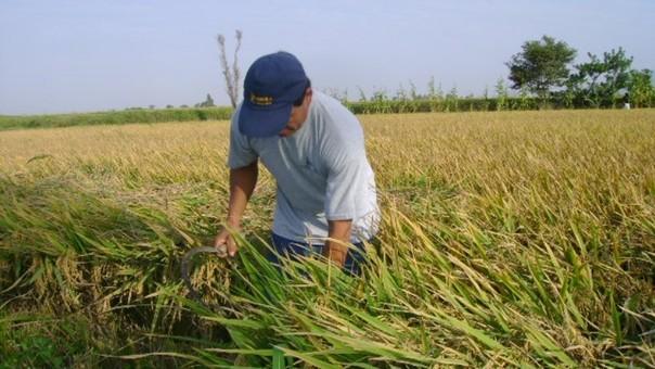Agricultor arroz