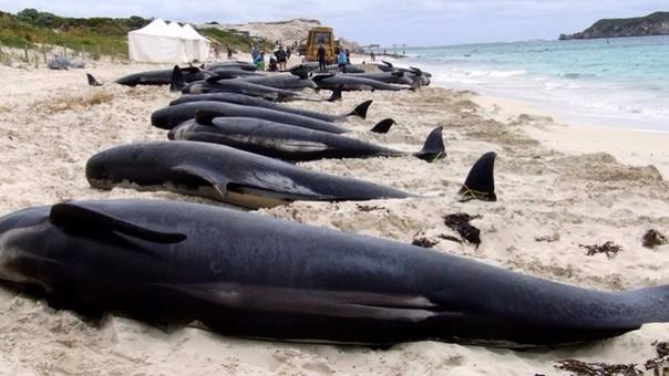 La muerte de un grupo de ballenas preocupó a los ambientalistas, pero parece no haberle interesado a las autoridades en Chile.