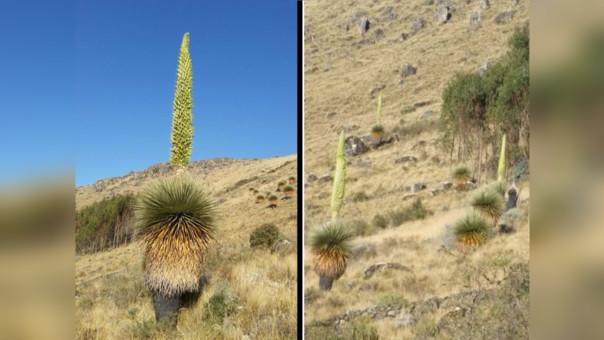 Otuzco: florece bosque de puyas Raimondi en Salpo