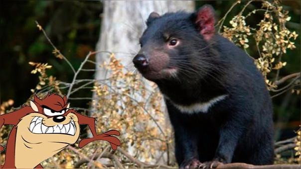 El demonio de Tasmania podría salvarse de la extinción tras haber desarrollado resistencia al cáncer.