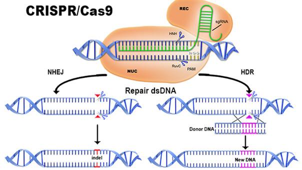 Método CRISPR-Cas9 que podría revertir las células cancerígenas
