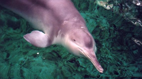 Luego de casi 15 años, un baiji volvió a ser visto en su hábitat natural.