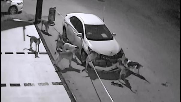 Perros destrozan un coche en Turquía