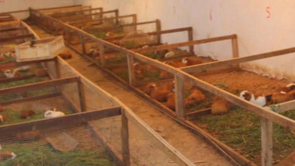 Pequeña granja de cuyes