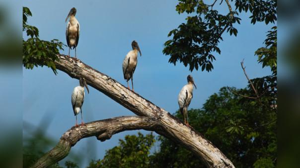 Grupo de ejemplares juveniles de jabirú o cigüela americana (Jabiru mycteria). Reserva Nacional Pacaya-Samiria.