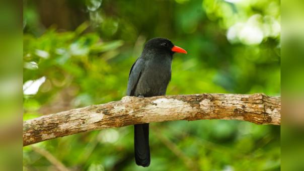 Monjita de frente negra (Monasa nigrifrons), Reserva Nacional Tambopata.