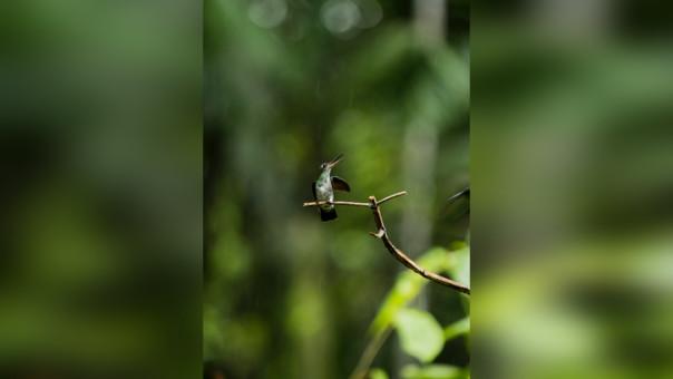 Amazilia de vientre blanco (Amazilia chionogaster), Bosque de Protección Alto Mayo.