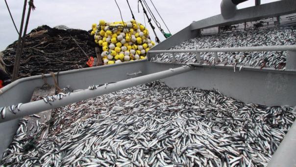 Se está pescando menos anchoveta juvenil.