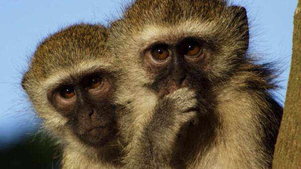 Esta especie de monos es natural del sureste de África.