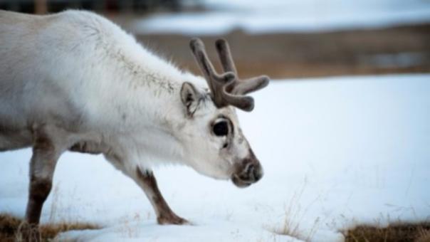 El reno, en peligro por el calentamiento global.