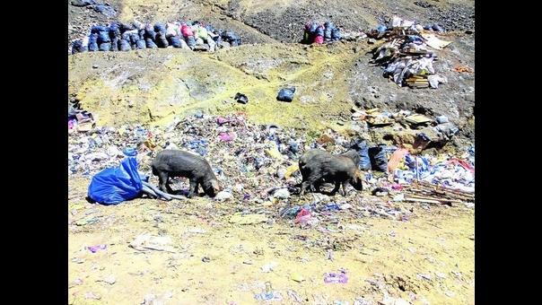 Cerdos comen basura